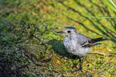 White Wagtail or Motacilla alba. Wagtails is a genus of songbirds. Wagtail is one of the most useful birds. It kills mosquitoes an. D flies, which deftly chases royalty free stock photo