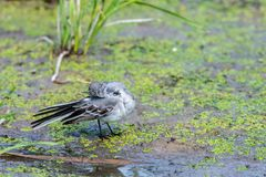 White Wagtail or Motacilla alba. Wagtails is a genus of songbirds. Wagtail is one of the most useful birds. It kills mosquitoes an. D flies, which deftly chases stock photo