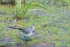 White Wagtail or Motacilla alba. Wagtails is a genus of songbirds. Wagtail is one of the most useful birds. It kills mosquitoes an. D flies, which deftly chases royalty free stock image