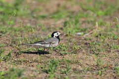 White wagtail walks briskly on the ground between blades of grass. White wagtail Motacilla alba walks briskly on the ground between blades of grass Stock Images