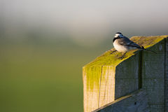 White wagtail on pole Royalty Free Stock Image