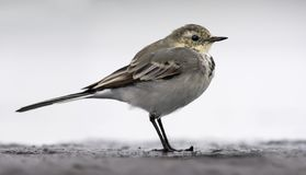 White Wagtail posing stands lonely on a shore in light key and in autumn or winter plumage royalty free stock images