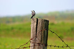 White wagtail. Is on a post with barbed wire Stock Photos