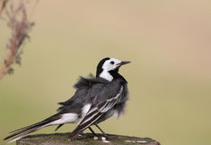 White wagtail on a post Royalty Free Stock Photo