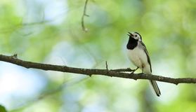 White Wagtail. A pretty White Wagtail perches on a branch and sings his heart out in Stockholm, Sweden Royalty Free Stock Photos