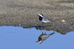 White wagtail. A White wagtail with reflection Royalty Free Stock Photography