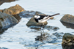The White Wagtail Royalty Free Stock Photo
