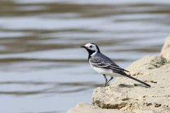 White Wagtail on river. Motacilla alba Stock Images