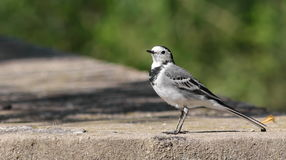 White Wagtail on river. Motacilla alba Royalty Free Stock Images