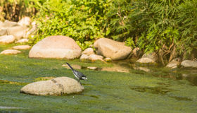 White Wagtail at the river Stock Photo