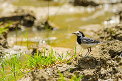 White wagtail at the river. White wagtail walking at the river Stock Photography
