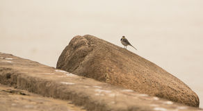 White Wagtail on rock Stock Image