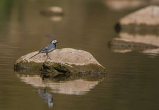 White Wagtail on a rock in a river Stock Photo