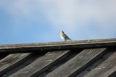 White Wagtail On The Roof Stock Image