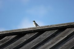 White Wagtail On The Roof Royalty Free Stock Photo