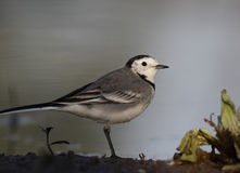 White Wagtail Stock Image
