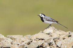White Wagtail singing Stock Photography