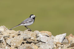 White Wagtail singing Royalty Free Stock Images