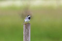 White Wagtail sit on a pole Royalty Free Stock Image