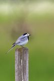 White Wagtail sit on a pole Stock Photo