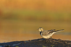 White wagtail sits on an island of the lake. Evening light on watering birds, migration, the younger generation Royalty Free Stock Photo