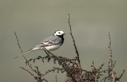 A white wagtail sitting on a bush. In springtime in Croatia Royalty Free Stock Photos