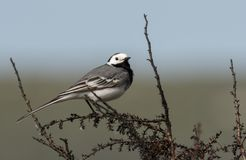 A white wagtail sitting on a bush. In springtime in Croatia Royalty Free Stock Photo