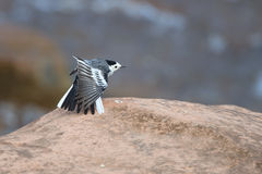 White wagtail spread its wing. While standing alone on the rock Royalty Free Stock Photo