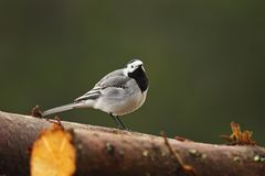 White wagtail standing on wooden stump Stock Photography