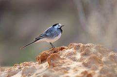 White wagtail stands on the slope of a clay pit. White wagtail Motacilla alba stands on the slope of a clay pit Stock Image