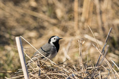 White Wagtail staring Stock Photo