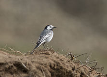 White Wagtail on the steppe slopes. Royalty Free Stock Image