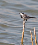 A White Wagtail on a stick Stock Photography
