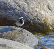 White wagtail stops on the stone. Looking Stock Photos