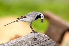 A white Wagtail in summer Stock Photography