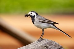 A white Wagtail in summer Royalty Free Stock Photos
