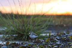 White Wagtail at sunset. Small birf in long grass,,bird,wild life,migration Royalty Free Stock Image