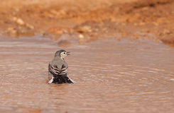A White Wagtail taking a bath Royalty Free Stock Photo