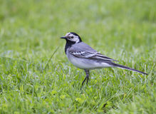 White Wagtail. Wagtails is a genus of songbirds. Wagtail is one of the most useful birds. It kills mosquitoes and flies, which deftly chases in the air Royalty Free Stock Image