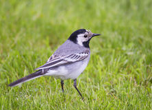 White Wagtail. Wagtails is a genus of songbirds. Wagtail is one of the most useful birds. It kills mosquitoes and flies, which deftly chases in the air Stock Image