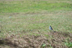 White Wagtail walk on a young green grass Stock Images