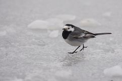 White wagtail walking on a frozen lake. White wagtail or  Motacilla alba walking on a frozen lake. It is a small  insectivore bird Stock Images