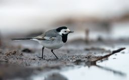 White Wagtail goes on dirty and slobby shore near a river royalty free stock photos