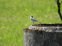 White wagtail watching small flies. White wagtail Motacilla alba sitting on concrete channel and catching little flies. He is very good at it royalty free stock photo