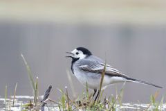 White wagtail Stock Photo