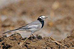 White wagtail. Posing for a portolio in bright light Royalty Free Stock Photo
