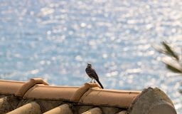 White wagtail. Rests on a roof top Stock Images
