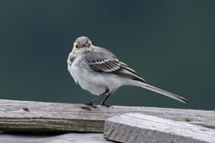 White wagtail in the wild. Romania Royalty Free Stock Image