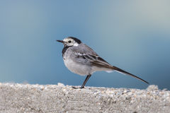 White wagtail in the wild. Romania Stock Image