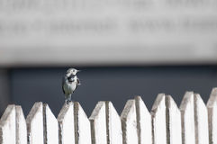 White wagtail on a wooden fence Royalty Free Stock Photography
